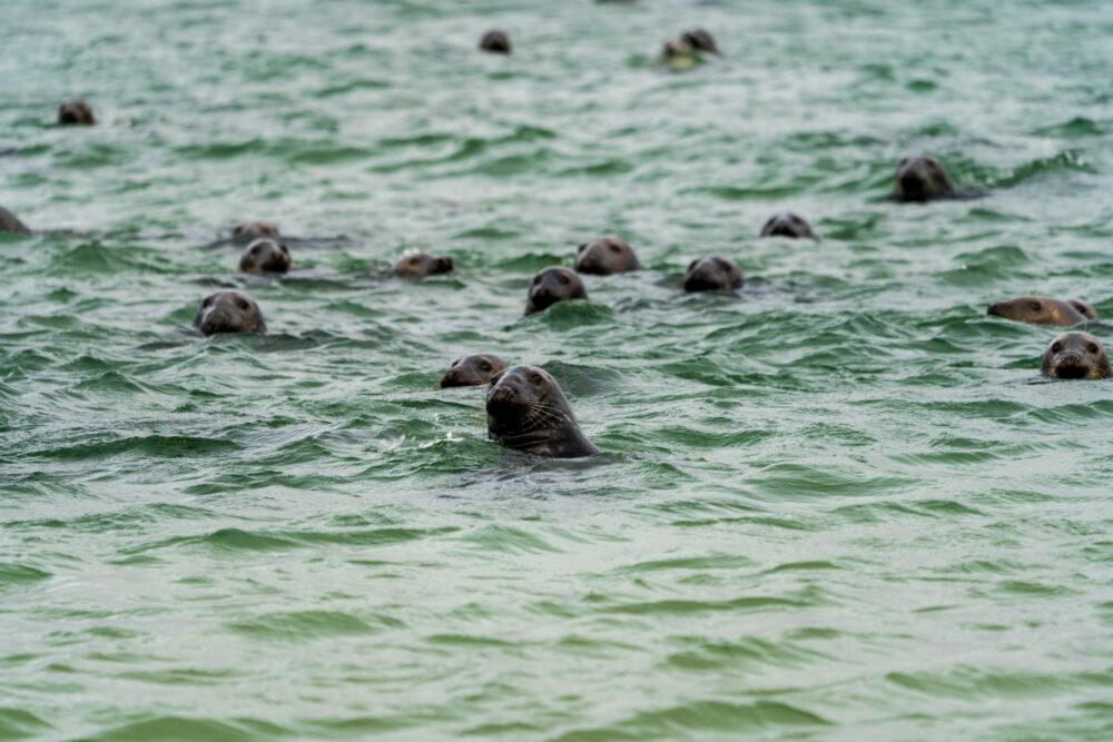 Harbour seals (Phoca vitulina) swimming in the sea
