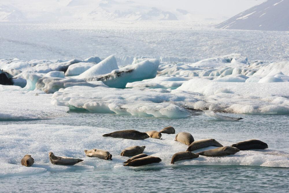 Jökulsarlon Seals