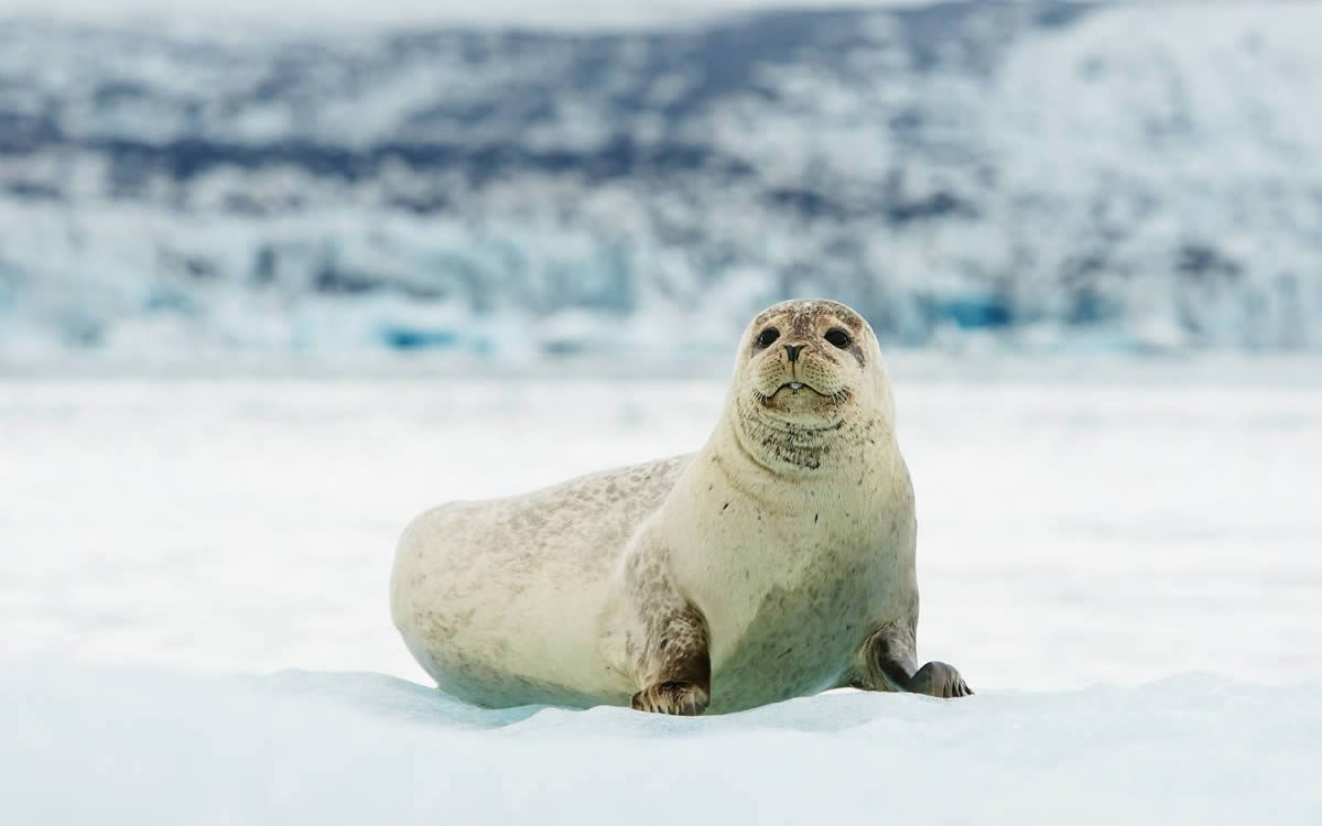 Bearded-Seal-Seal-Sealing-Network-8
