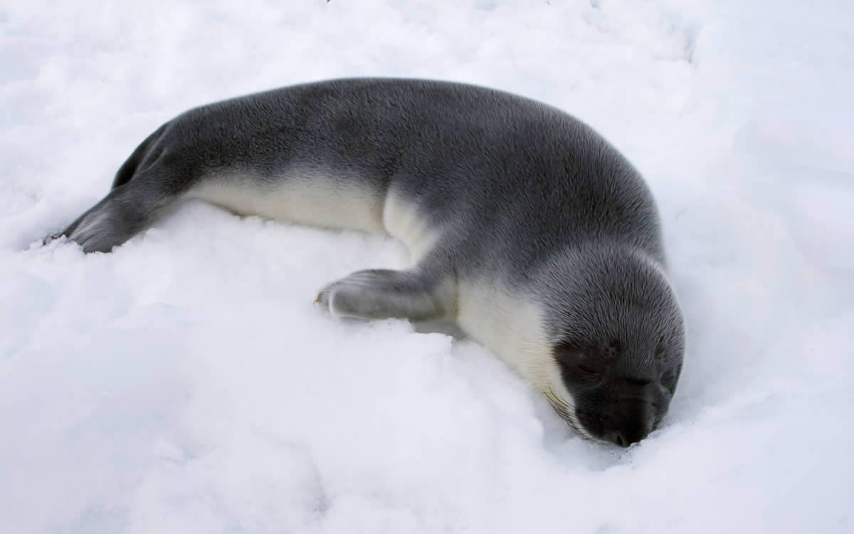 Hooded-Seal-Seal-Sealing-Network-12