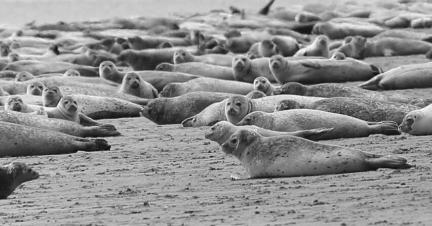 Abundant Seal Population_Canadian Seal Products