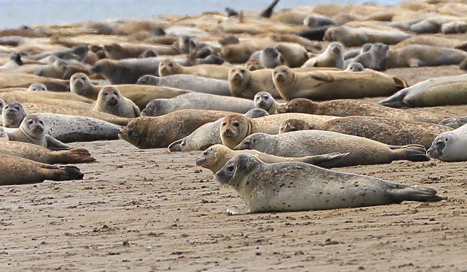 Seals on Koresand sandbank in Wadden Sea
