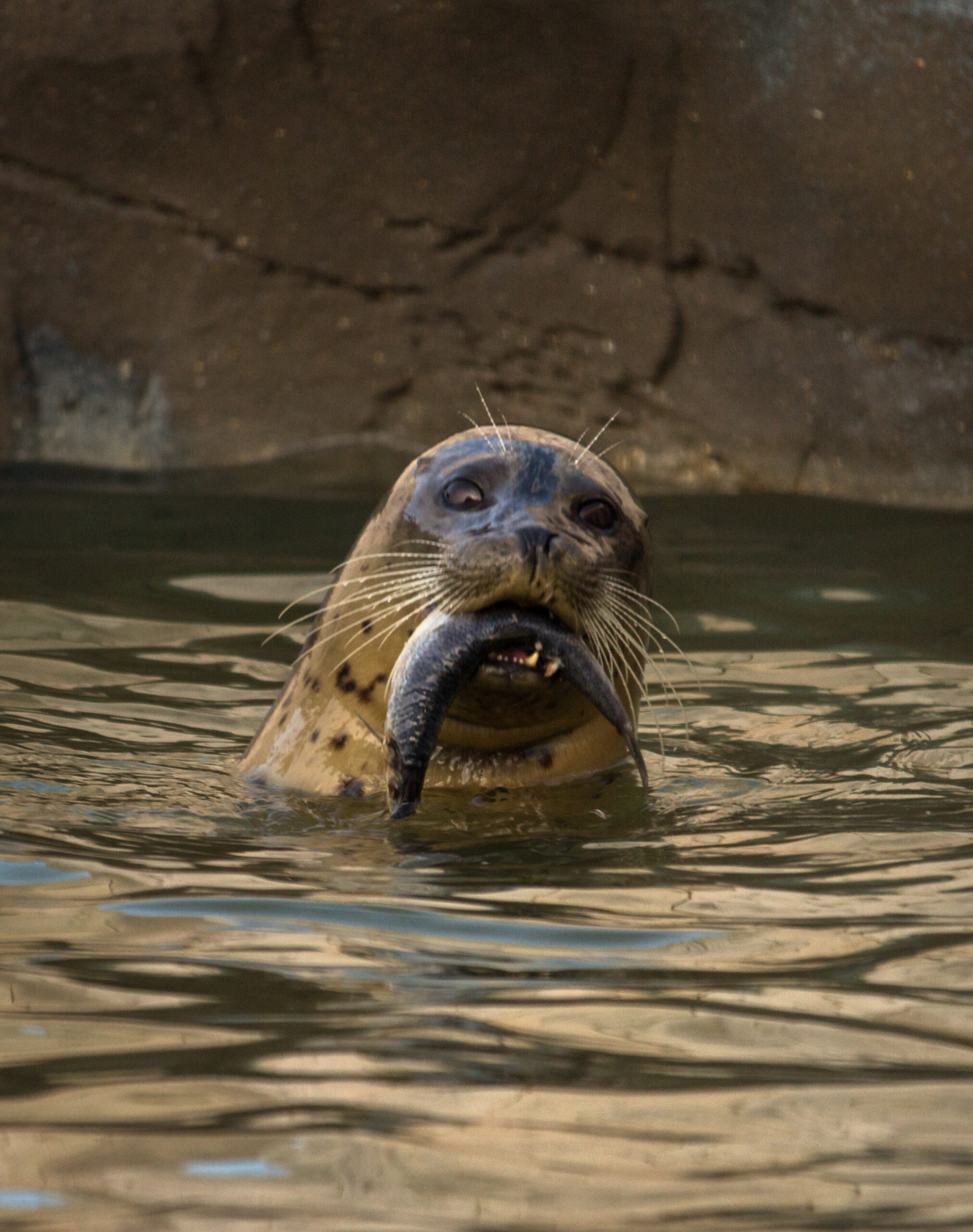 Common Seal Eating Fish in Water